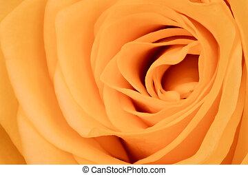 orange rose close up