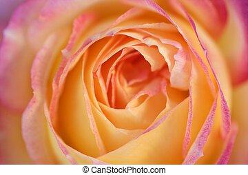 Orange rose flower macro detail in soft light