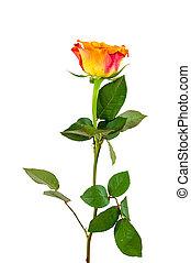Orange rose flower on white background