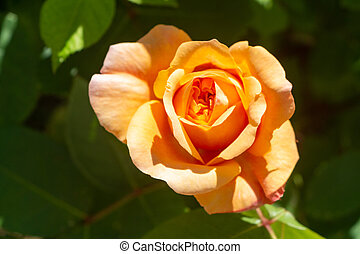 Orange rose in a garden