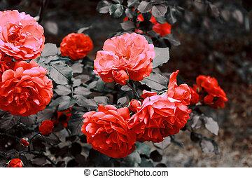 Orange rose in the garden. Filter applied