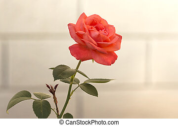 orange rose on a background of a stone wall