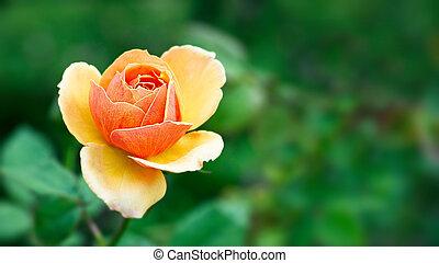 Orange rose on green background