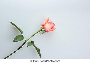 orange rose on white