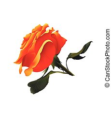 Orange Rose. Vector Realistic Illustration. Isolated on White