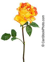 orange rose with drops