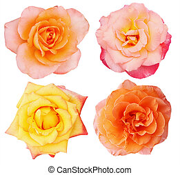 orange, roses, collection