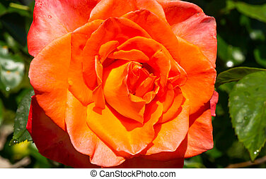 orange roses in the garden with raindrops