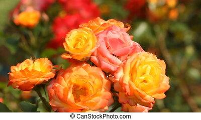 orange roses - orange roses