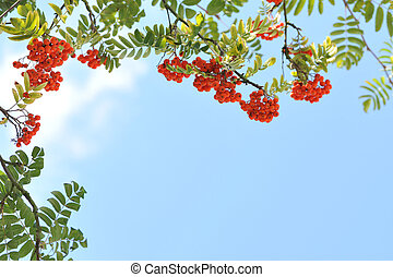 Orange rowan berries on a tree.