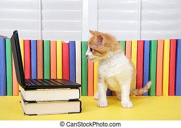 orange, séance, ordinateur portable, tabby, miniature, informatique, chaton, devant, blanc