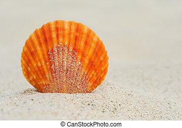 Orange scallop in the sand, close up