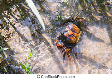 orange small crab in the pond
