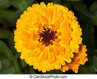 orange, souci, fleur