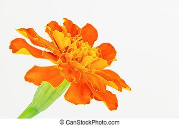 orange, souci, francais
