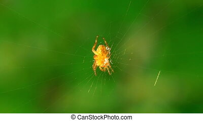 Orange spider sits on center of the web. Macro.