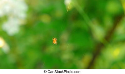 Orange spider sits on center of the web. Macro.