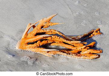 Orange Sprawling Sponge Covered in Sea Foam - A bright...