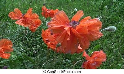 orange spring poppy blossoms