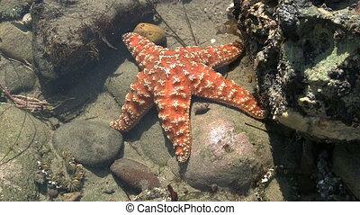 Orange Starfish In California Tide Pool