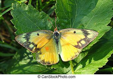 Orange Sulphur Butterfly (Colias eurytheme) at Shabbona Lake...