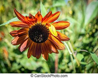 Orange Sunflower in an English country garden