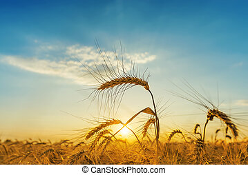 orange sunset over field with harvest