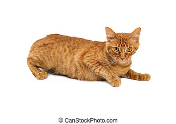 Orange Tabby Cat Lying on White