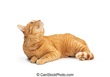 Orange Tabby Cat Lying on White Up
