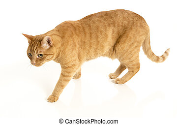 Orange tabby cat isolated on white background with reflection