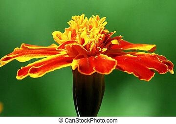 Orange Tagete flower (marigold) in the green