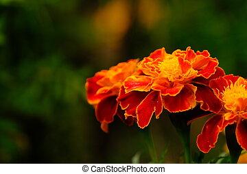 Orange tagetes flowers