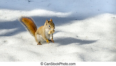 orange tail, Red squirrel on Springtime corn snow looking for num nums to eat in corn snow of Northern Ontario woodland.