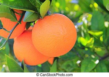 orange tangerine tree fruits green leaves