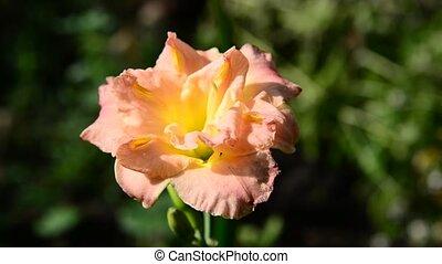 Orange terry daylily flower in flowerbed - Orange terry...