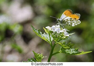 Orange tip butterfly feeding on flo