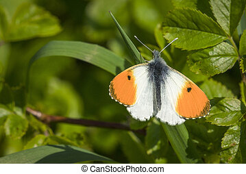 Orange tip butterfly on a green leaf in a garden at...