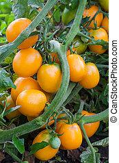 Orange tomatoes growing on branch - Close up of fresh orange...