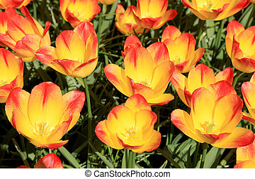 Close up of colorful tulips in spring