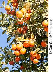 Orange tree with fresh fruits - Citrus sinensis