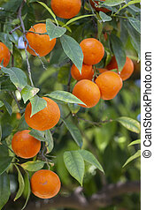 Orange tree fruits