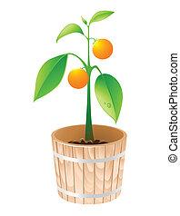 orange tree in a wooden tub