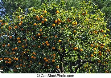 Orange tree in Diano Castello, Liguria, Italy, Europe