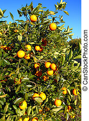 Orange Tree Landscape Florida