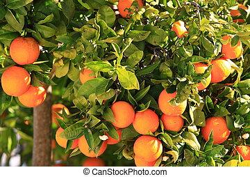 Orange tree over green tree in Ibiza.