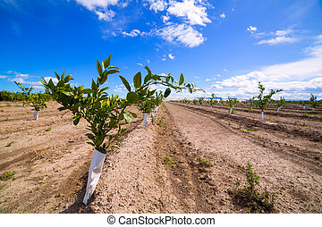 Orange tree sprouts with trunk protected against rodents