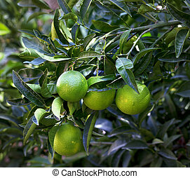 Orange tree with green unripened fruit