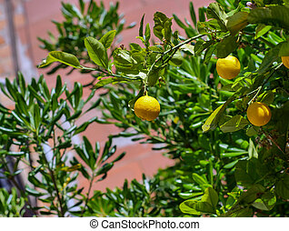 Orange tree with several young fruits on the street