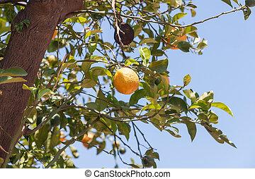 Orange trees with fresh fruits - Citrus sinensis