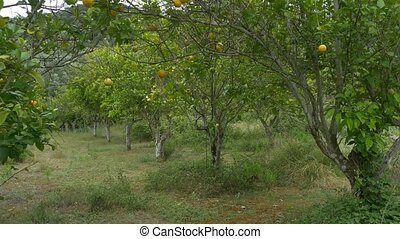 Orange Trees in Orchard - Oranges fruits tree in a greek...